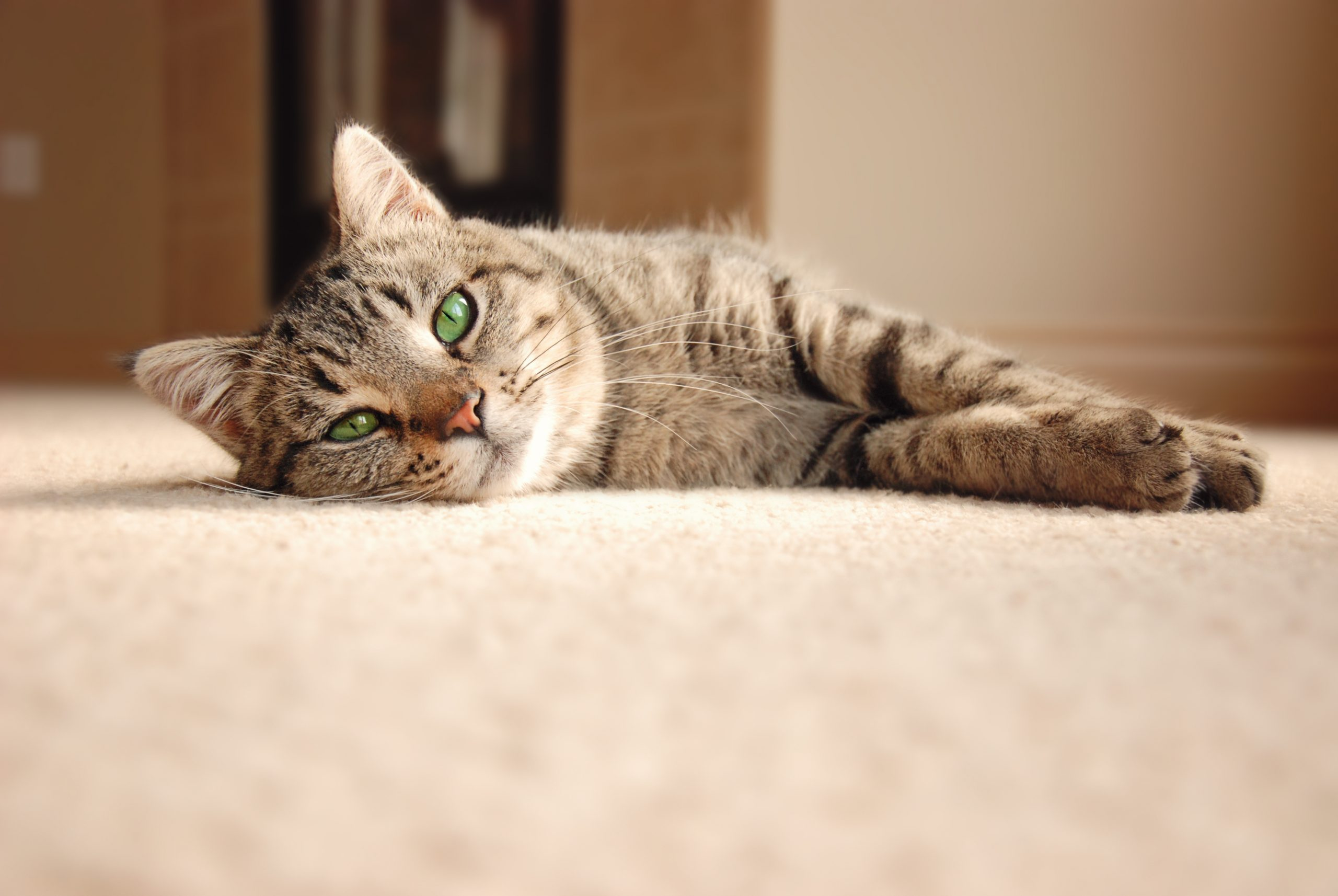Carpet Cleaning - Cute tabby cat with green eyes laying on carpet