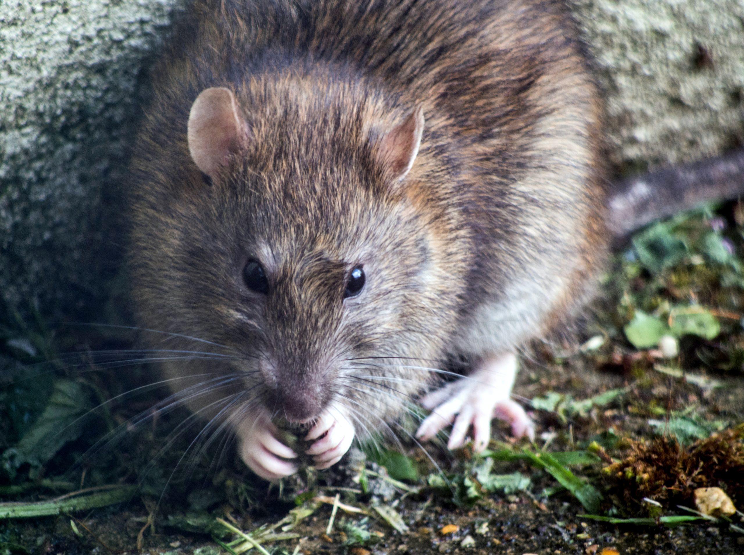 Pest Control - close up of a gray rat