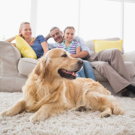 Stain removal - Golden Retriever on rug with family in background at home