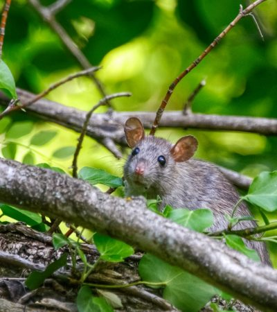 Pest Control Noosa - small grey rodent in green bush