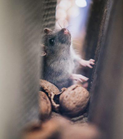 Pest Control Caloundra - close up of a gray mouse